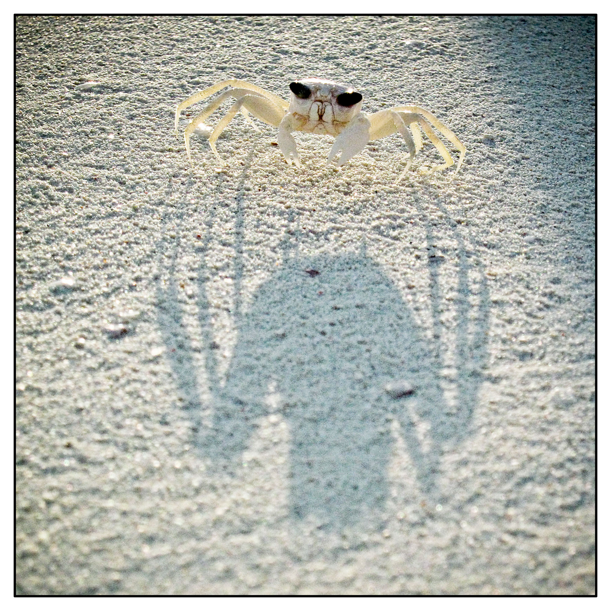 Ghost crab in the early morning light
