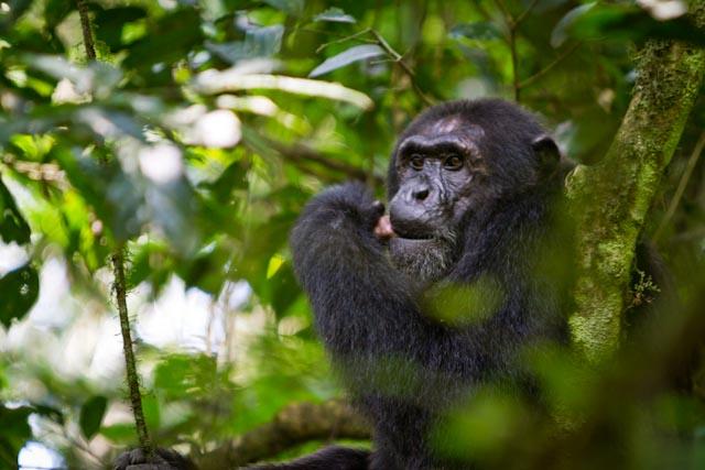 Chimpanzee eating meat